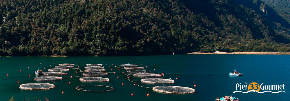 Pier33-ChileanSalmonProducers-FeaturedImages1